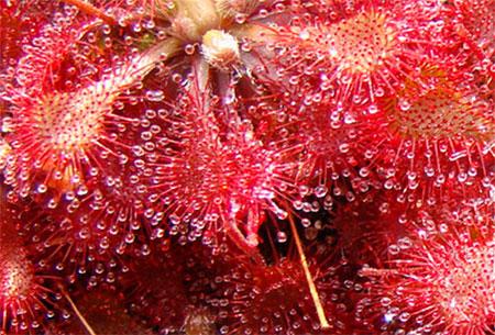 Soldug (Drosera tokaiensis)